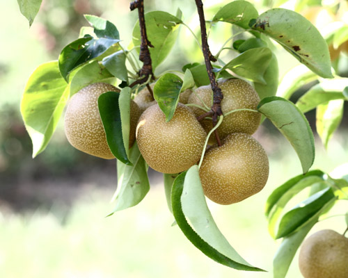 Asian Pear 'Hosui'