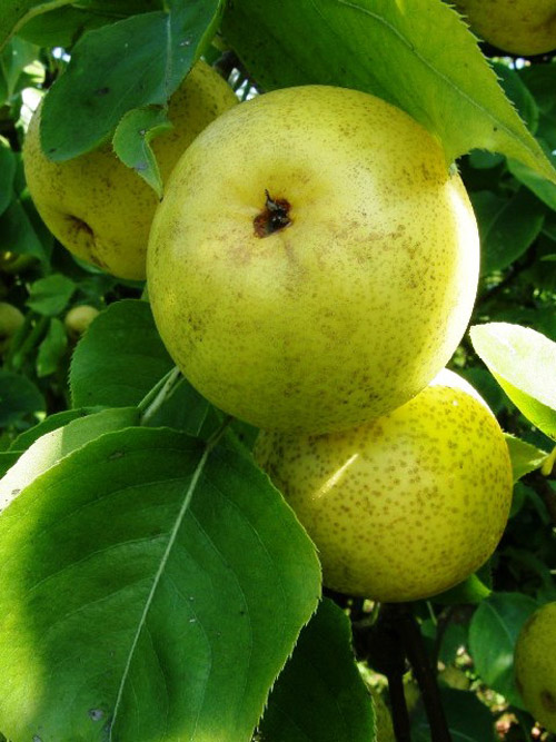 Asian Pear 'Nijisseiki'