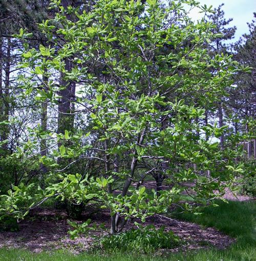 Elizabeth magnolia