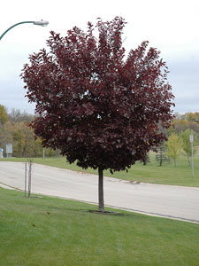 Canada Red Chokecherry