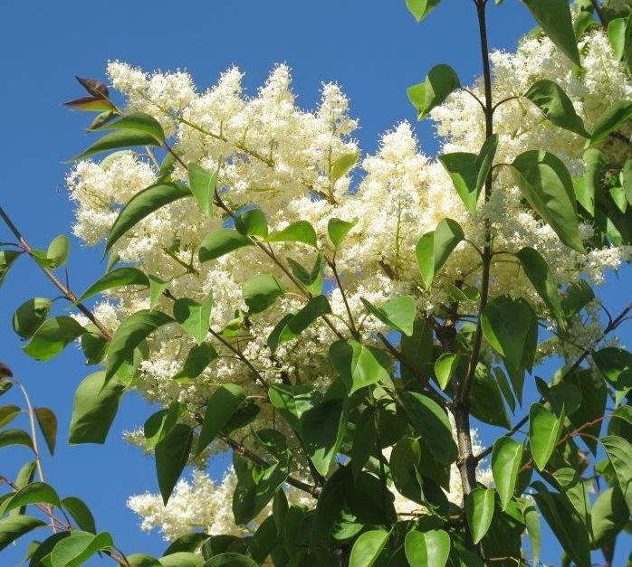 Summer Charm Japanese Tree Lilac