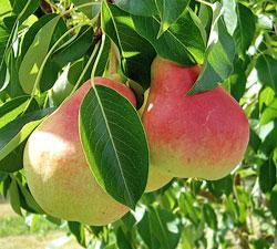 Pear 'Ubileen'