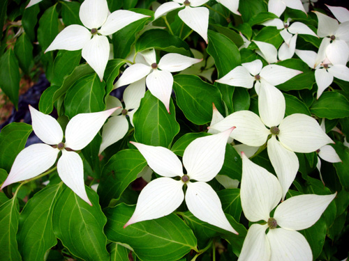Milky Way dogwood