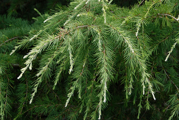 White-tipped deodar cedar