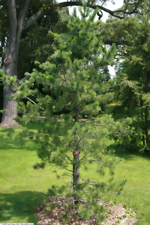 Vanderwolf's Pyramid pine