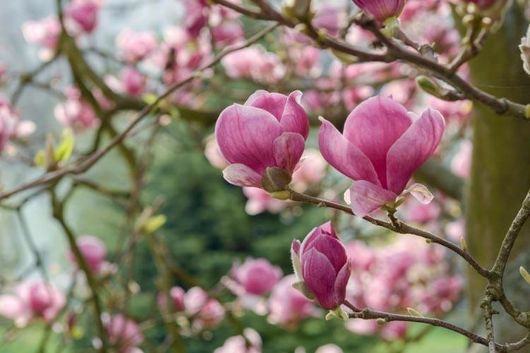 Rustica Rubra Saucer magnolia