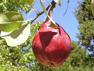 Pear 'Red Clapp's Favorite' Semi-dwarf