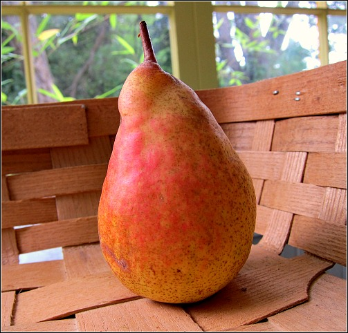 Pear 'Orcas' semi-dwarf