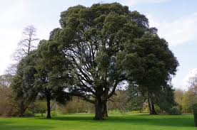 Holly or Holm oak