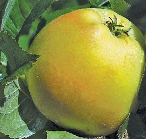 Apple 'Pristine'