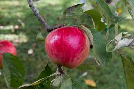 Apple 'Akane' Semi-dwarf