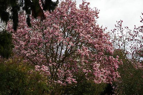 Lennei Magnolia
