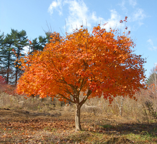 Korean Maple