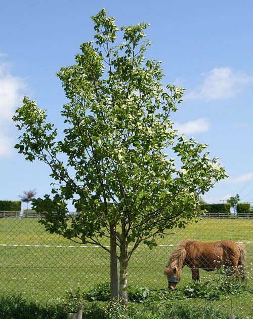 Walnut 'English Carpathian'
