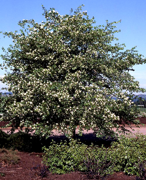 Washington Hawthorn