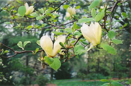 Yellow Lantern Magnolia